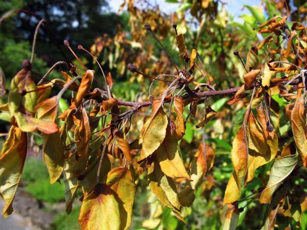 Bacterial blight on an apple tree (Malus sp.)