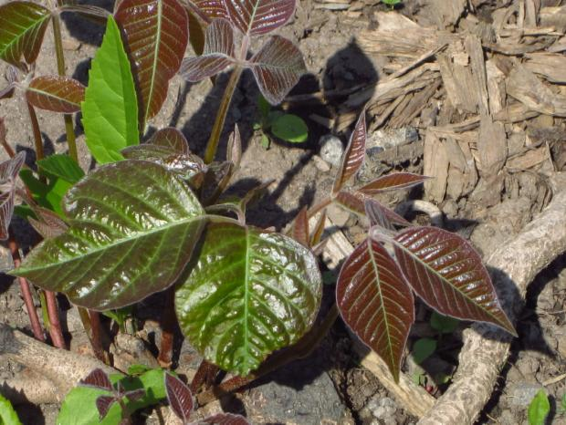 Poison ivy (Toxicodendron radicans) - New foliage in spring