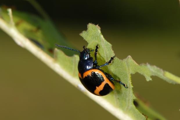 Labidomera clivicollis