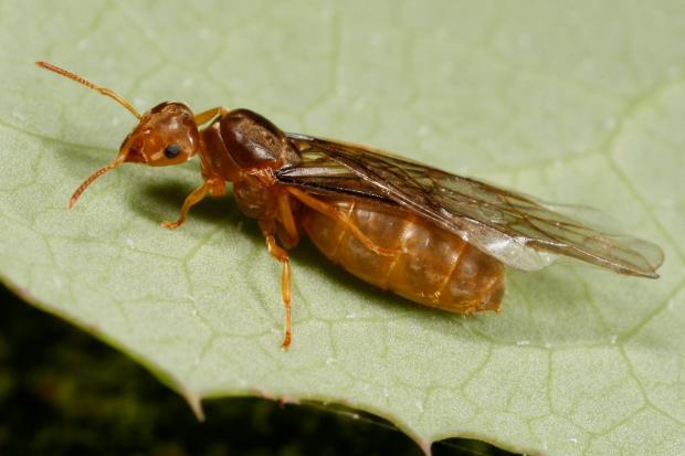 Lasius sp. Québec, Canada.