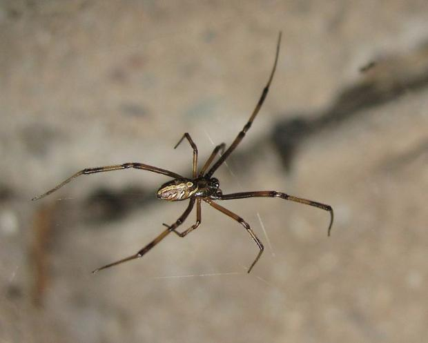 Latrodectus hesperus, female - western black widow
