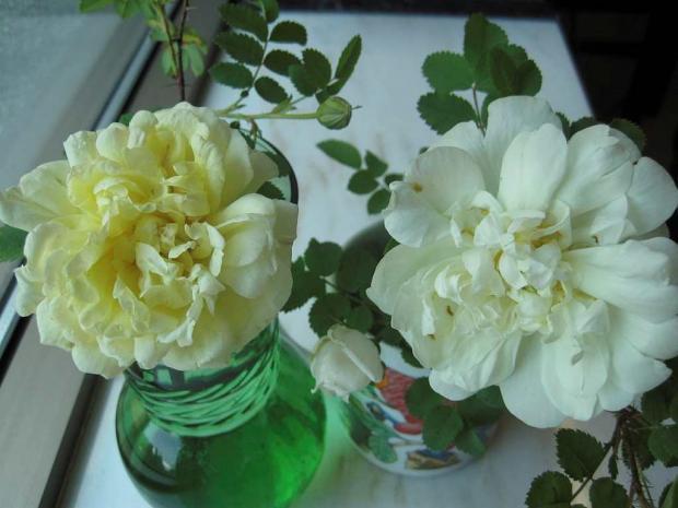 Cut flowers (Rosa 'Beauty of Dropmore' and Rosa 'Kilwinning')