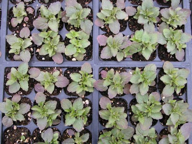 Viola seedlings