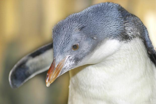 Young penguin.