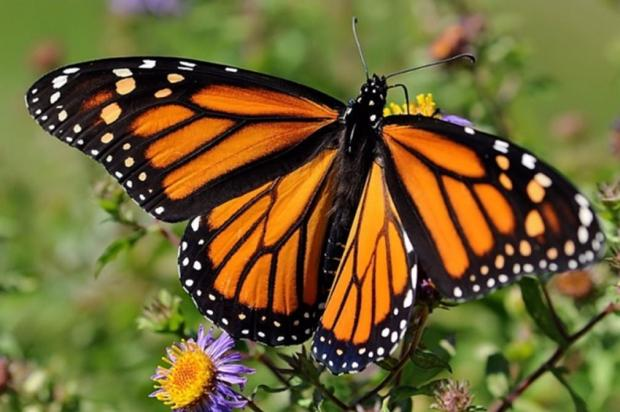 """Montréal First """"Monarch-Friendly City"""" in Canada to Receive GOLD Certification"""