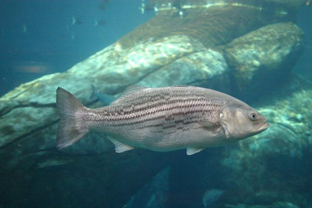 Striped bass (Morone saxatilis) is considered extinct in Quebec due to over-exploitation.