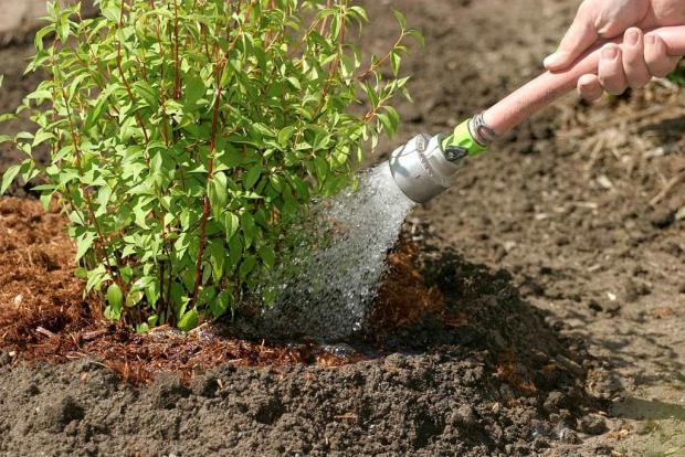 Watering a shrub