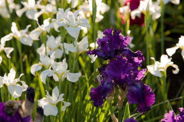 Iris cv.