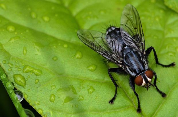 Une mouche de la famille des Sarcophagides