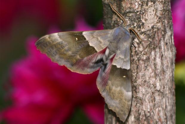 Pachysphinx modesta.