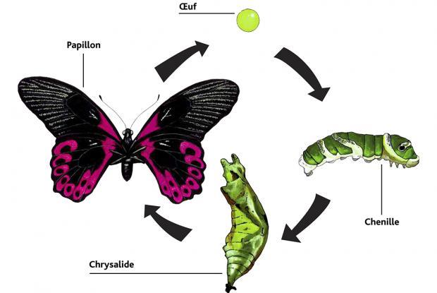 Papilio rumanzovia, Philippines.