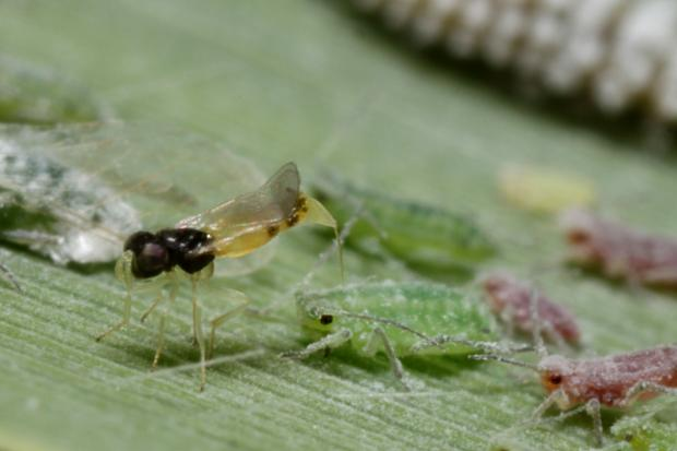Laying of a parasitoid, Québec, Canada.
