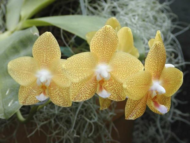 Phalaenopsis 'Brother Elizabeth'