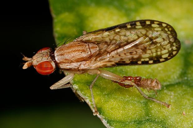 Pseudoscorpion on Diptera, Québec, Canada.
