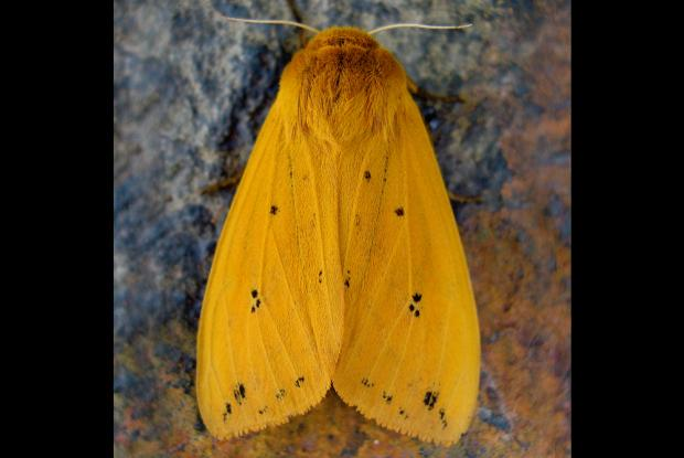 Pyrrharctia isabella