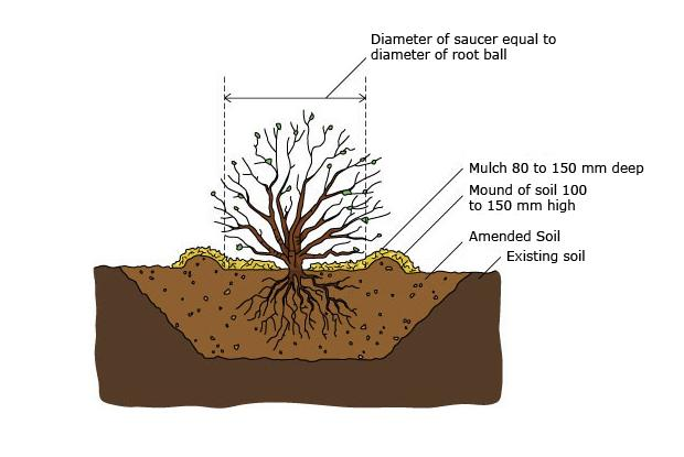 Bare root trees and shrubs