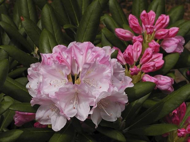 Rhododendron degronianum ssp. yakushimanum