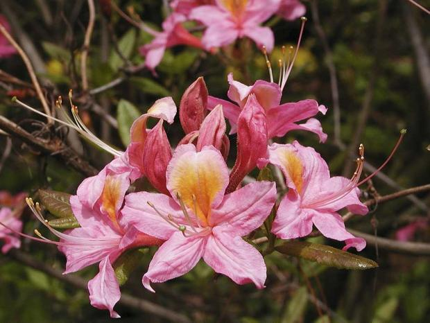 Rhododendron 'Fanny'