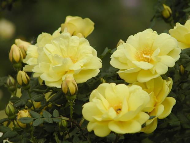 Rosa 'Hazeldean'.
