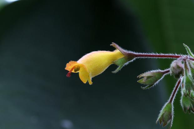 Artificial hybrid between Rhytidophyllum auriculatum and R. rupincola.