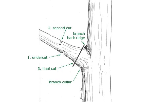 Removing a large branch