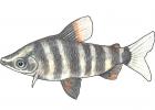 Abramites hypselonotus