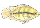 Archocentrus multispinosus