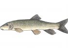 Catostomus catostomus