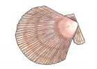 Chlamys islandicus