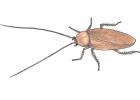 Chorisoneura sp.