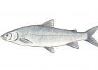 Coregonus clupeaformis