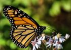 Have you heard about the Mission Monarch Blitz?