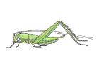 Cyrtoxipha gundlachi