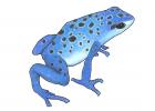 Dendrobates tinctorius (var. azureus)