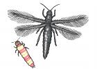 Haplothrips subtilissimus