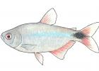 Hyphessobrycon anisitsi
