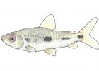 Leporinus friderici