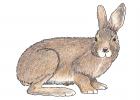 Lepus americanus