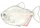 Metynnis argenteus