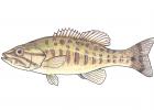 Micropterus dolomieu