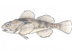 Myoxocephalus aenaeus