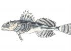 Myoxocephalus octodecemspinosus