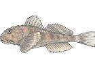 Myoxocephalus scorpius