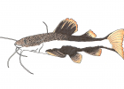 Phractocephalus hemiliopterus
