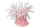 Stomphia coccinea