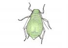 Toxoptera aurantii