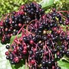 Common elderberry