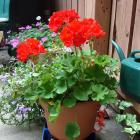 Potted geranium (Pelargonium sp.)
