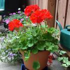 Potted geranium (Pelargonium sp.)