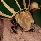 Chelorrhina polyphemus.